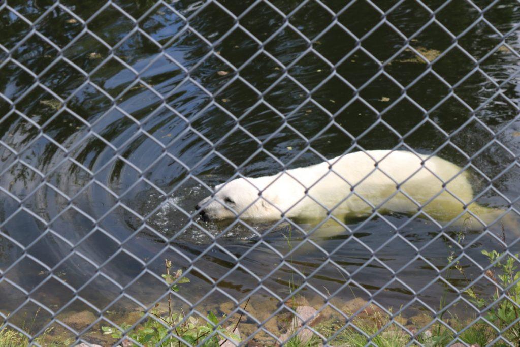 Isbjørnen, et flott dyr!
