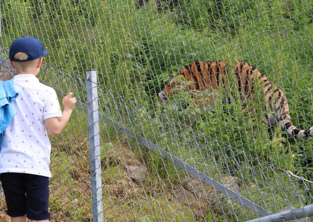 Tigre er tøffe dyr! Minsten gir tommel opp!
